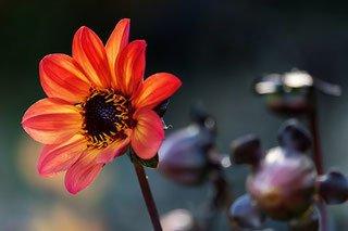 Dalia a fiore singolo