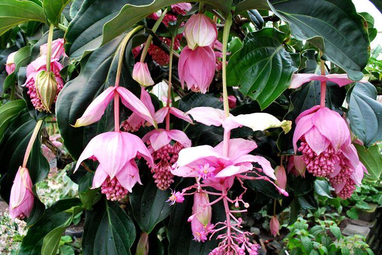 Pianta Fiori Rosa.La Medinilla Magnifica Signorelli Flowers Coffee