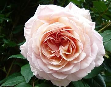 Rose David Austin hd