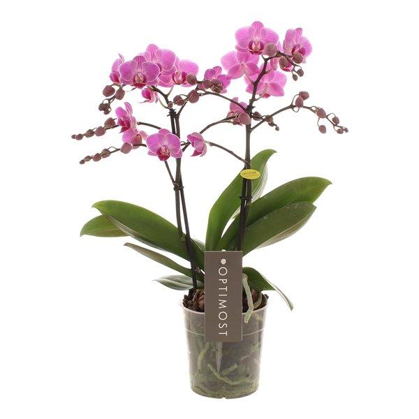 Orchidea Phalaenopsis 2 rami