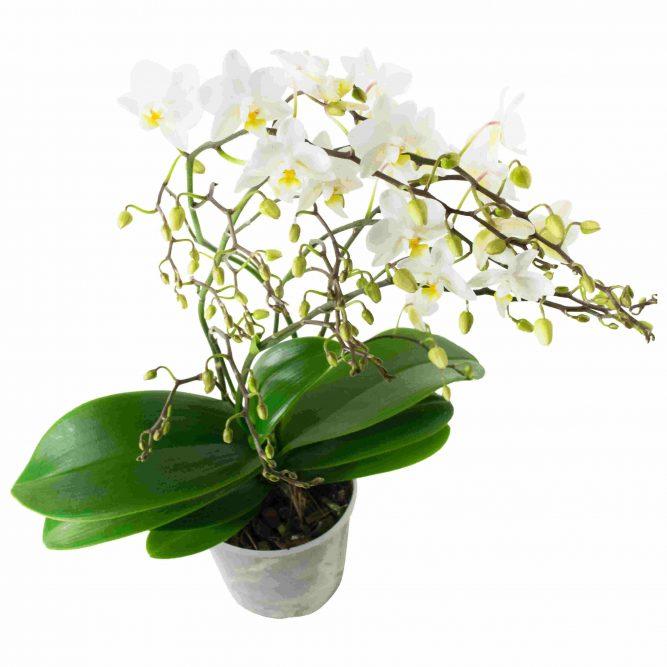 orchidea multiflora bianca