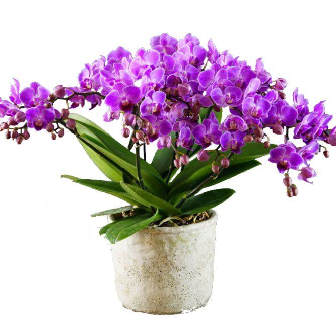 orchidea multiflora fucsia
