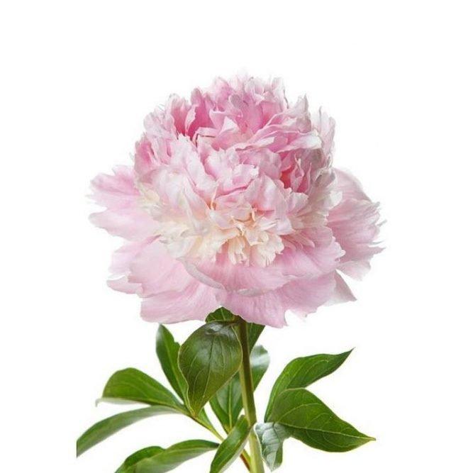 peonia – signorelli – vendita fiori e piante online