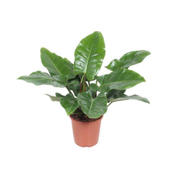 philodendron-imperial-green copia